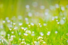 Blue Eyed Grass-Sisyrinchium rosulatum Stock Photo