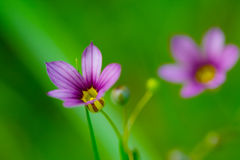Blue Eyed Grass-Sisyrinchium rosulatum Stock Photography