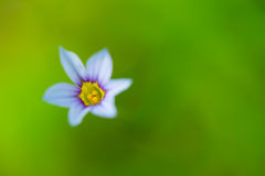 Blue Eyed Grass-Sisyrinchium rosulatum Royalty Free Stock Image