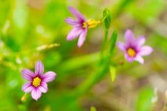 Blue Eyed Grass-Sisyrinchium rosulatum Stock Images