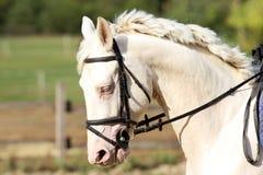 Blue-eyed gray stallion galloping on dressage training Stock Photos