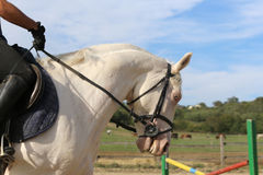 Blue-eyed gray stallion galloping with unknown rider Royalty Free Stock Image