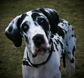 Blue-Eyed Great Dane. Photo of the face of a blue-eyed Great Dane Stock Photography