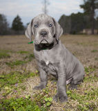 Blue eyed Great Dane puppy Stock Images