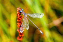 Blue-eyed Hawker on an orange flower Stock Photo