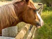 Blue Eyed Horse Stock Image