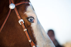 Blue eyed horse Royalty Free Stock Photo