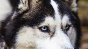 Blue eyed Husky dog portrait Royalty Free Stock Photo