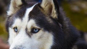 Blue eyed Husky dog portrait Royalty Free Stock Photos