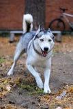Blue-eyed husky joyfully run to meet Stock Photo