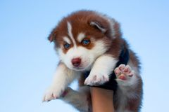 Blue-eyed husky puppy Stock Photo