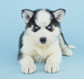 Blue Eyed Husky Puppy Royalty Free Stock Image