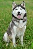 Blue-eyed husky Stock Photos