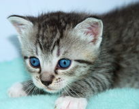 Blue Eyed Kitten Royalty Free Stock Photos