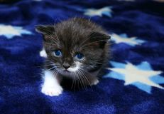 Blue-eyed kitten Stock Image