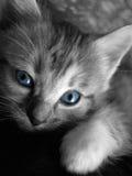 Blue eyed kitten. Deep blue eyed kitten looking straight ahead Royalty Free Stock Photos