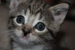 Blue-eyed kitten. Clu was rescued from a woodpile with her three sisters and their mother Stock Photography
