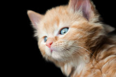 Blue eyed kitten. Cute blue eyed kitten on a black background Stock Photos