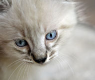 Blue-eyed Kitten Stock Photo