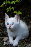 Blue eyed kitten Royalty Free Stock Images