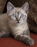 Blue Eyed Kitten. In prone position with paw extended stock image