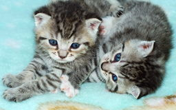 Blue Eyed Kittens Stock Image