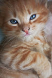Blue eyed kitty. The striped kitten with beautiful dark blue eyes looks directly in the camera Stock Photo