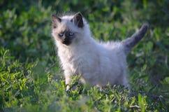 Blue Eyed Kitty Royalty Free Stock Photography