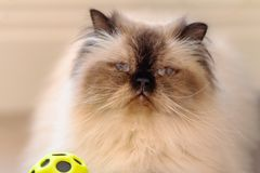 A blue eyed long haired with white long fluffy mustache himalayan cat with a ball royalty free stock images