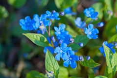 Blue-eyed Mary Stock Photography