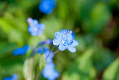 Blue-eyed-Mary. Bright blue flowers named Blue-eyed-Mary in flowerbed in spring Stock Image