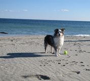 Miniature American Shepherd. Blue Eyed Miniature American Australian Shepherd On The Beach royalty free stock photo