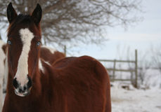 Blue-Eyed Pinto. Young Pinto Mare with Bright Blue Eyes Winter Shot royalty free stock photo