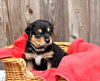 Blue Eyed Puppy Royalty Free Stock Photography