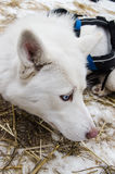 Blue eyed pure white hasky dog in gear on snow and straw bedding Royalty Free Stock Image