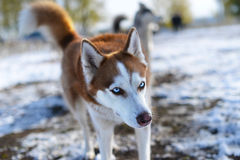 Blue-eyed redhead Huskies incredulous looks Stock Images