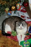 Christmas cat amid festivities. A blue-eyed Scottish Fold cat peers up from his bed of gift wrappings beneath a Christmas tree. Perhaps he has opened a bag of Royalty Free Stock Photography