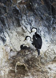 Blue Eyed Shag Family Stock Images