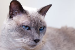 Blue-Eyed Siamese Cat. Face of a male blue-eyed siamese cat. This particular breed is blue point Stock Image