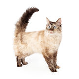 Blue eyed siamese cat standing Stock Images