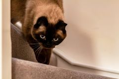 Blue-eyed siamese cat walking downstairs stock photo