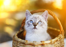 Blue eyed siamese kitten in basket close up photo Royalty Free Stock Photos