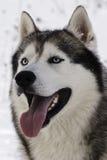 Blue-eyed siberian husky Royalty Free Stock Photo