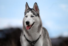 Blue - eyed siberian husky royalty free stock photography