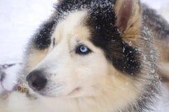 Blue-eyed Siberian Husky Stock Images