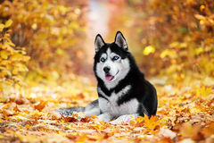 The blue-eyed Siberian Husky stock photos