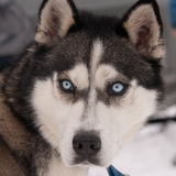Blue eyed Siberian husky portrait Stock Photography