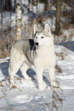 Blue-eyed Siberian Husky Royalty Free Stock Image