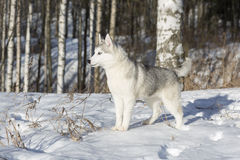 Blue-eyed Siberian Husky Royalty Free Stock Images