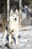 Blue-eyed Siberian Husky. Puppy Royalty Free Stock Image